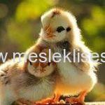 hayvan yetiştiriciliği ve sağlığı alanı